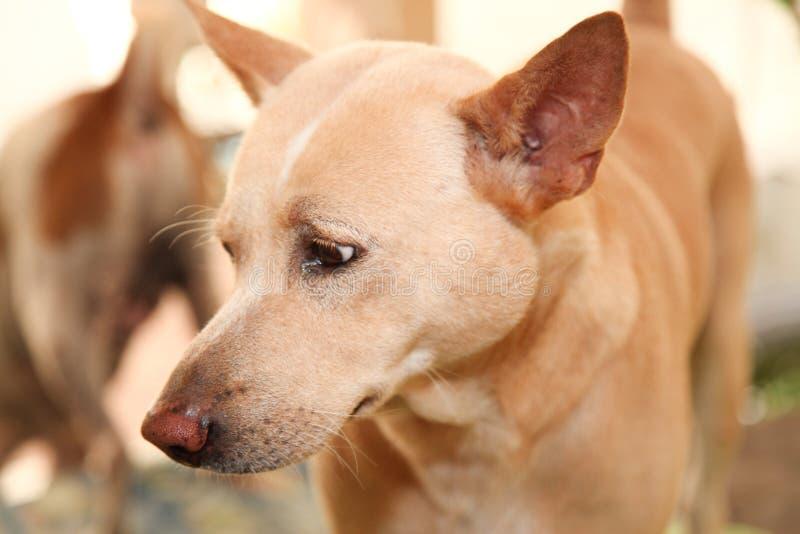 το ταϊλανδικό σκυλί φαίνεται εγώ στοκ φωτογραφία