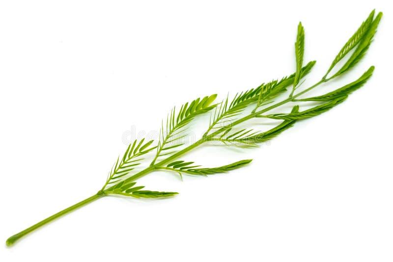 Το ταϊλανδικό τοπικό λαχανικό, το pennata Senegalia ή η ταϊλανδική γλώσσα Leucaena ή cha-OM ακακιών απομονώνουν στο άσπρο υπόβαθρ στοκ εικόνα