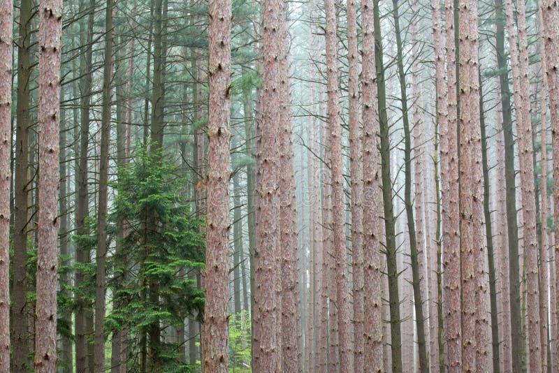 Άνοιξη, δάσος πεύκων στοκ φωτογραφία