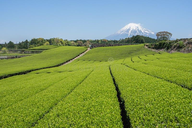 Το τοπίο της ΑΜ Φούτζι και πράσινοι τομείς τσαγιού στοκ εικόνα