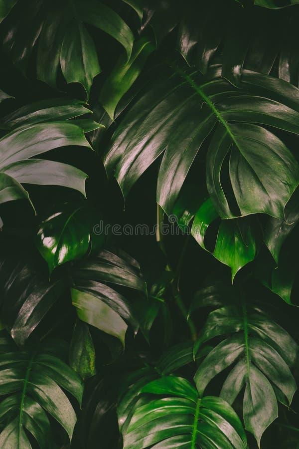 Το τροπικό, εξωτικό σχέδιο υποβάθρου του deliciosa Monstera κάλεσε επίσης τα ελβετικά φύλλα φυτών τυριών στοκ εικόνες