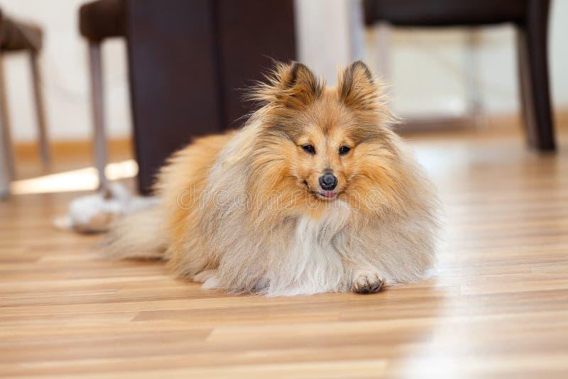 Το τσοπανόσκυλο Shetland βρίσκεται σε ένα ξύλινο έδαφος στοκ εικόνα