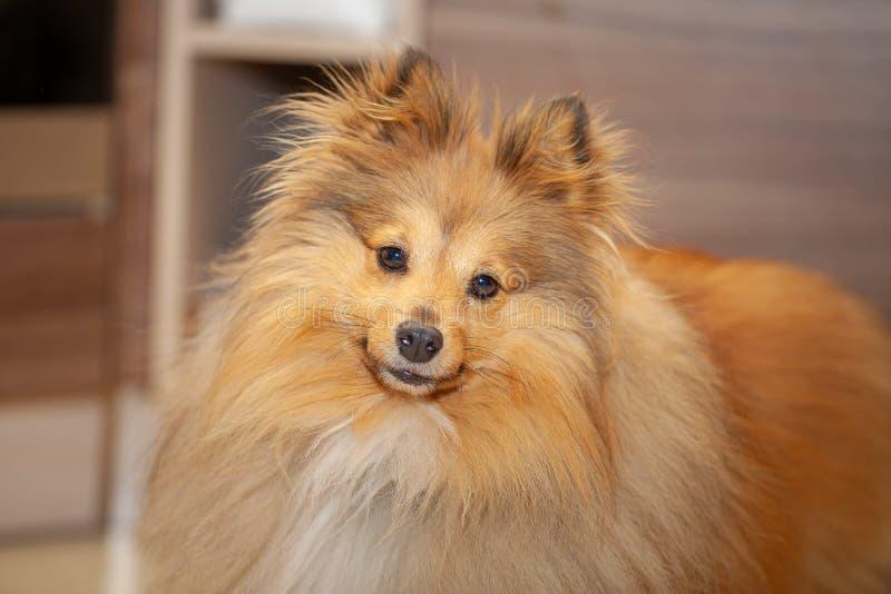 Το τσοπανόσκυλο Shetland κοιτάζει στη κάμερα στοκ φωτογραφία με δικαίωμα ελεύθερης χρήσης