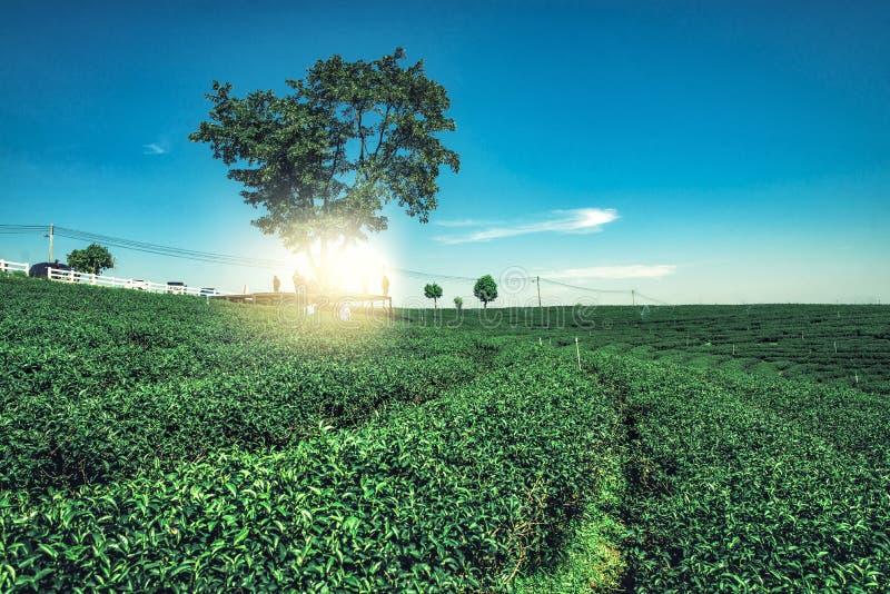 Το υπόβαθρο άποψης τοπίων φυτειών τσαγιού με το μπλε ουρανό στη σαφή ημέρα στοκ φωτογραφίες με δικαίωμα ελεύθερης χρήσης