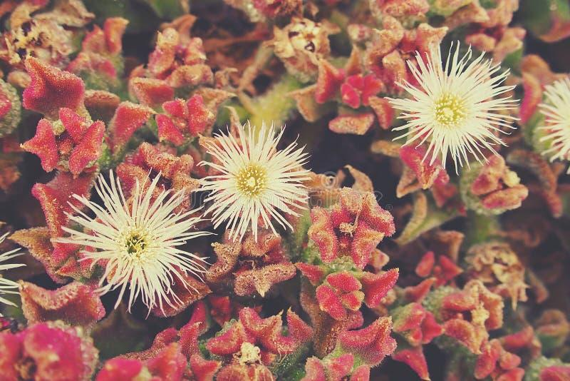 Το υπόβαθρο με ένα φυτό με το κόκκινο βγάζει φύλλα και άσπρα λουλούδια στοκ φωτογραφία