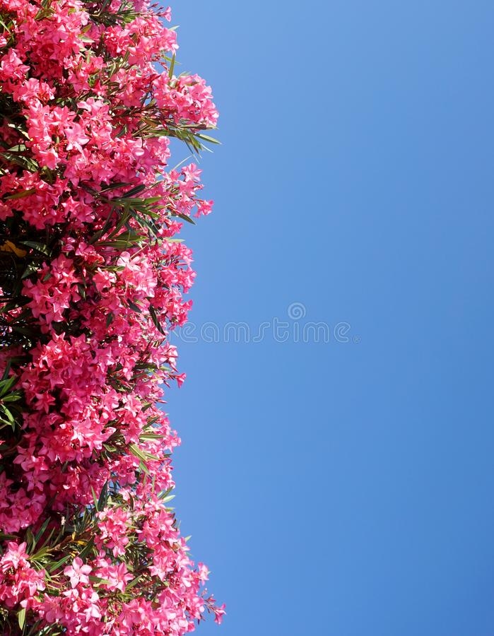 Το υπόβαθρο μπλε ουρανού με το κάθετο στεφάνι του ρόδινου oleander ανθίζει και φεύγει στη αριστερή πλευρά στοκ εικόνες