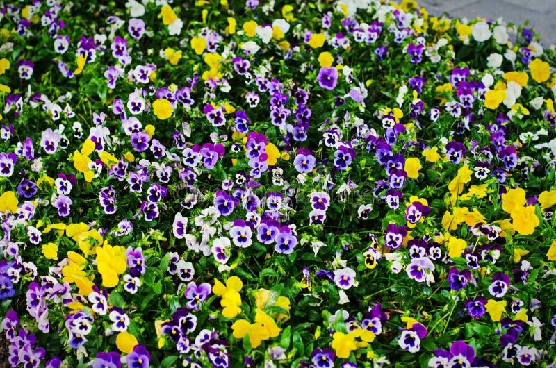 Το υπόβαθρο του καλοκαιριού ανθίζει, λιβάδι των ζωηρών violas pansies, εκλεκτική εστίαση στοκ εικόνες