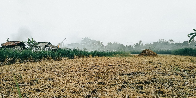 Το υπόβαθρο των κίτρινων τομέων ρυζιού, όταν συγκομίζεται το ρύζι από τους αγρότες στοκ φωτογραφία