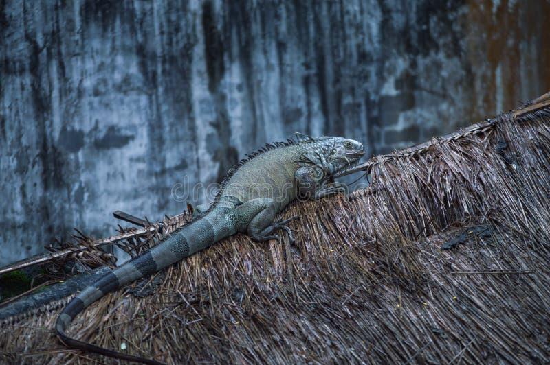 Το υπόλοιπο Iguana επάνω η στέγη στοκ φωτογραφία με δικαίωμα ελεύθερης χρήσης