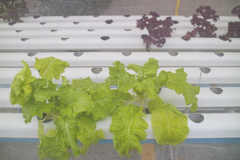 Το υδροπονικό λαχανικό φυτεύεται στο βρεφικό σταθμό στοκ φωτογραφία