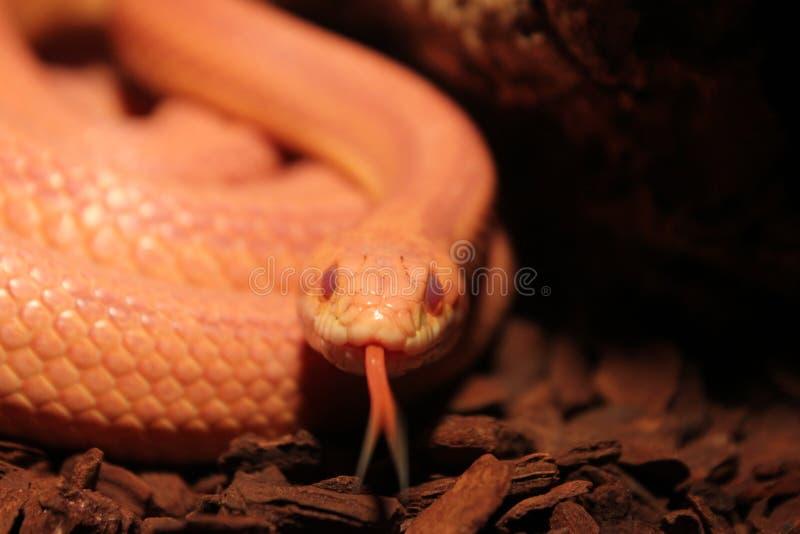 Το φίδι χλόης με τη γλώσσα στοκ φωτογραφίες με δικαίωμα ελεύθερης χρήσης