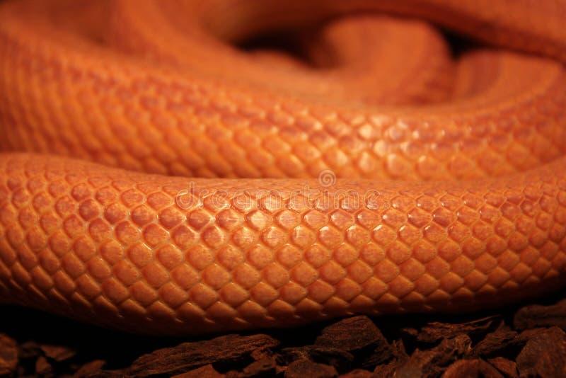 Το φίδι χλόης/Ringelnatter στοκ φωτογραφίες με δικαίωμα ελεύθερης χρήσης