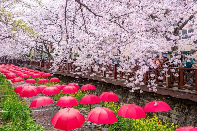 Το φεστιβάλ Gunhangje Jinhae είναι το μεγαλύτερο φεστιβάλ ανθών κερασιών στην Κορέα στοκ εικόνες με δικαίωμα ελεύθερης χρήσης