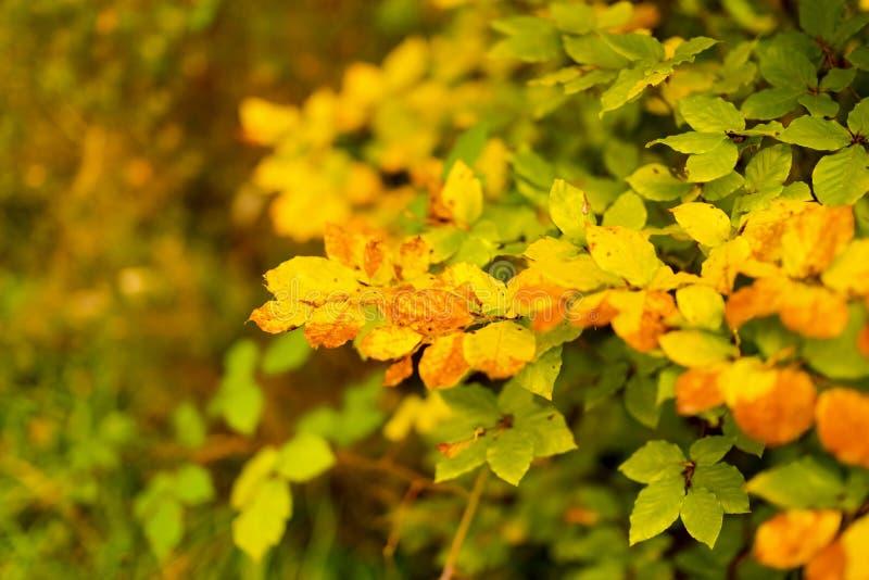 Το φθινοπωρινό δάσος με τα ζωηρόχρωμα φύλλα και το υπόβαθρο στοκ φωτογραφία