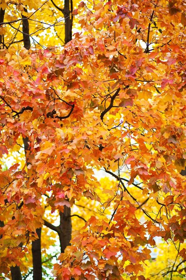 το φθινόπωρο αφήνει κίτρινος στοκ εικόνες