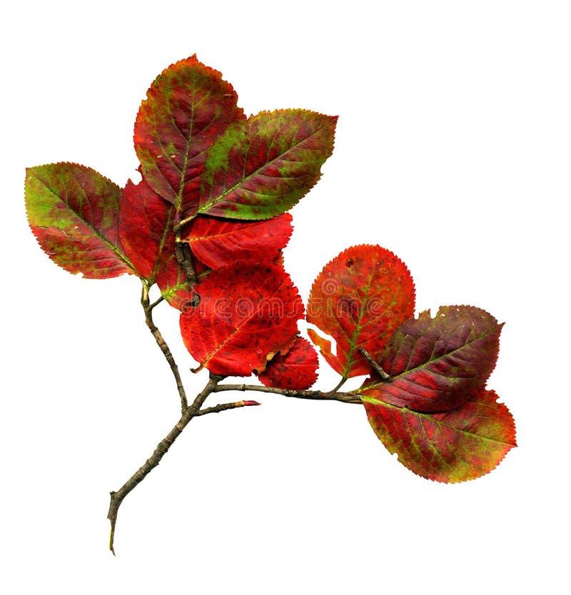 το φθινόπωρο αφήνει κόκκιν& στοκ εικόνες