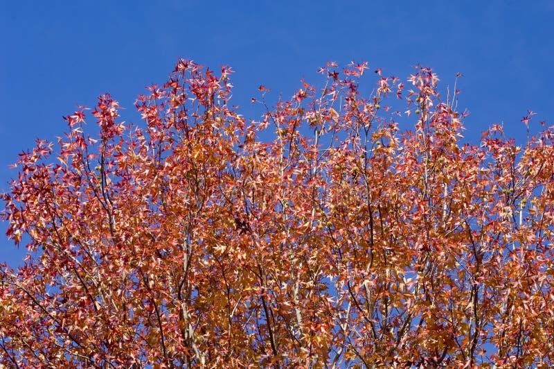το φθινόπωρο αφήνει κόκκιν στοκ εικόνα