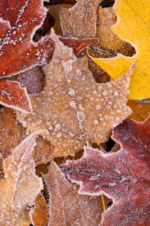το φθινόπωρο πάγωσε το σφένδαμνο φύλλων στοκ εικόνες