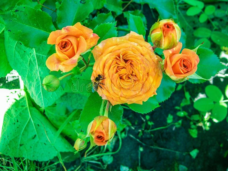 Το φθινόπωρο, πορτοκαλί αυξήθηκε, κήπος, μέλισσα, μέλισσα στοκ εικόνες με δικαίωμα ελεύθερης χρήσης