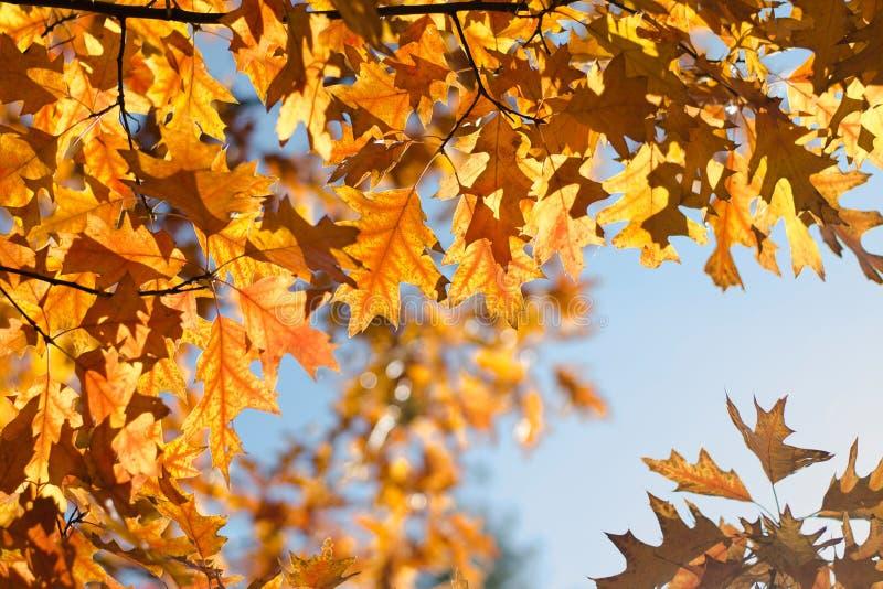 Το φθινόπωρο χρωμάτισε τα φύλλα της βαλανιδιάς Κίτρινα, πορτοκαλιά φύλλα ενάντια στο μπλε ουρανό o στοκ εικόνες
