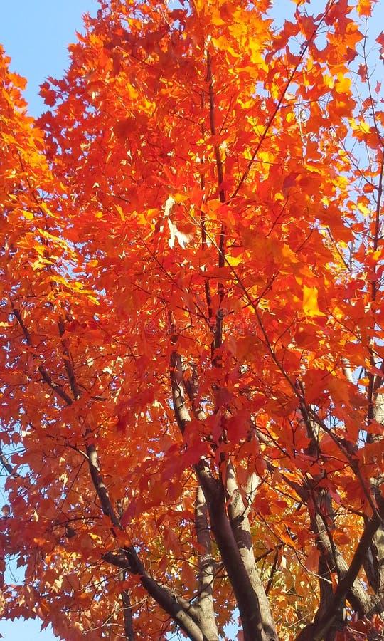 το φθινόπωρο dof αφήνει κόκκινο ρηχό στοκ φωτογραφία με δικαίωμα ελεύθερης χρήσης