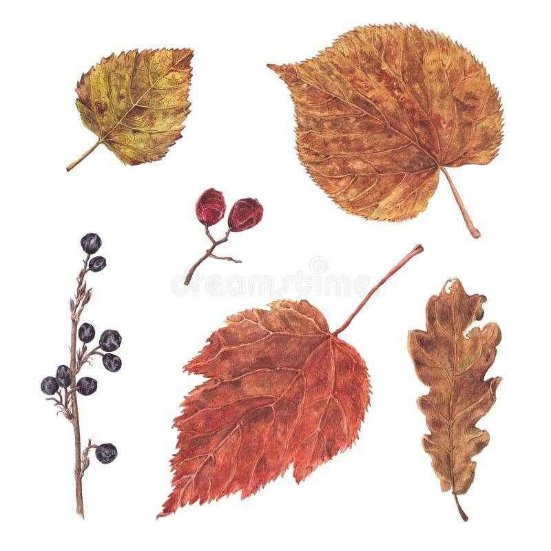 Το φθινόπωρο Watercolor, πέφτει ξηρό σύνολο φύλλων και μούρων απεικόνιση αποθεμάτων