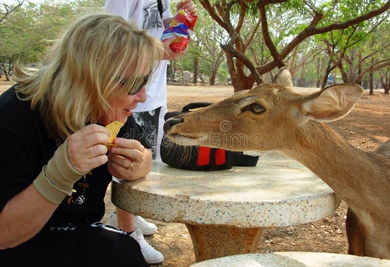 Το φιλικό ελάφι προσπαθεί να πάρει τα τρόφιμα από το διασκεδασμένο τουρίστα στο πάρκο φύσης Ασία στοκ εικόνες