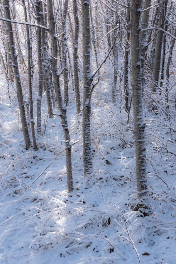 Download Το φρέσκο χιόνι μέσα το άλσος 2 δέντρων Στοκ Εικόνα - εικόνα από χιόνι, φρέσκος: 62708159