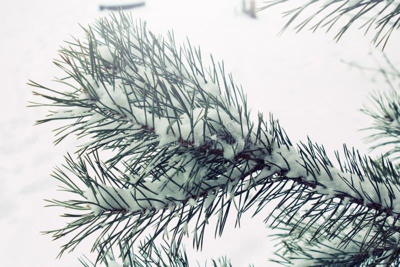 Το φυσικό υπόβαθρο με τον κλάδο πεύκων στο χιόνι, χειμώνας είναι ερχόμενη έννοια, διάστημα αντιγράφων στοκ φωτογραφία με δικαίωμα ελεύθερης χρήσης