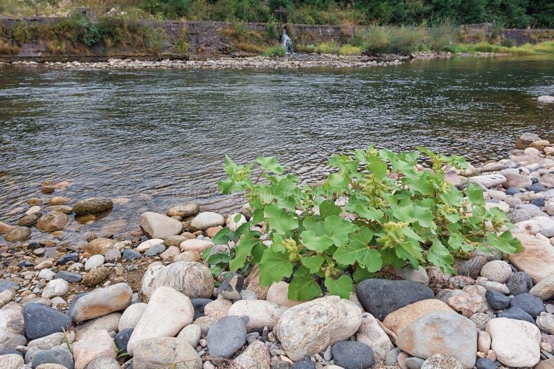 Το φυτό έχει μεγαλώσει μεταξύ των πετρών στην όχθη ποταμού στοκ εικόνες