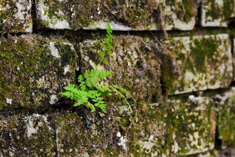 Το φυτό αυξάνεται από έναν mossy τοίχο, μια μαλακή εστίαση στοκ φωτογραφία με δικαίωμα ελεύθερης χρήσης