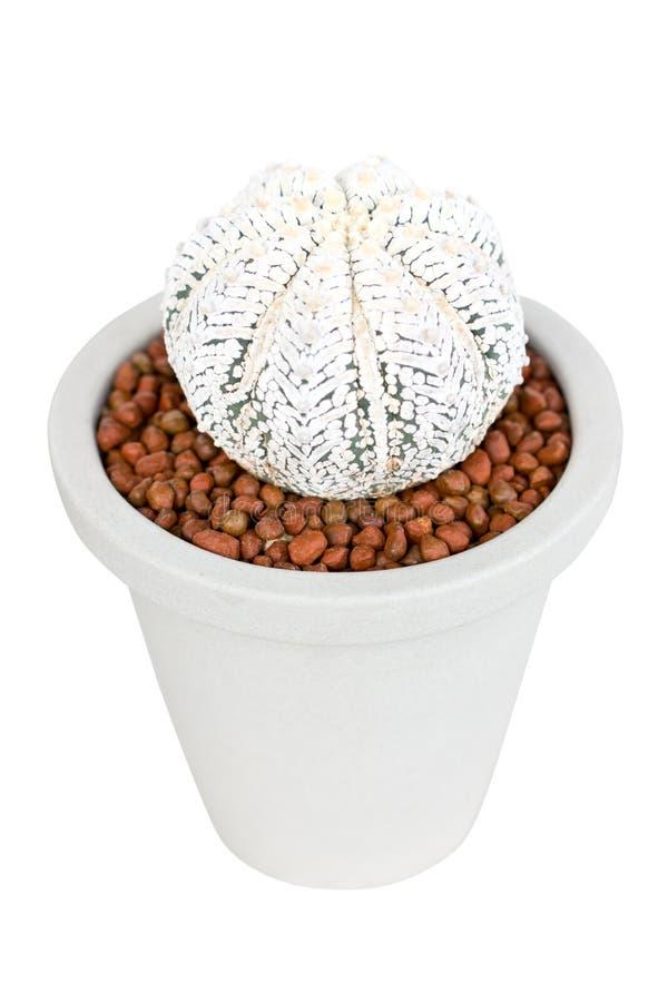 Το φυτό κάκτων αυξάνεται στο δοχείο αργίλου. στοκ φωτογραφίες με δικαίωμα ελεύθερης χρήσης