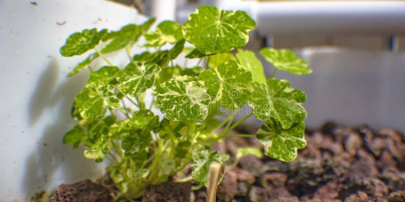 Το φυτό Aquaponics αυξάνεται το κρεβάτι με τους βράχους λάβας στοκ εικόνες με δικαίωμα ελεύθερης χρήσης