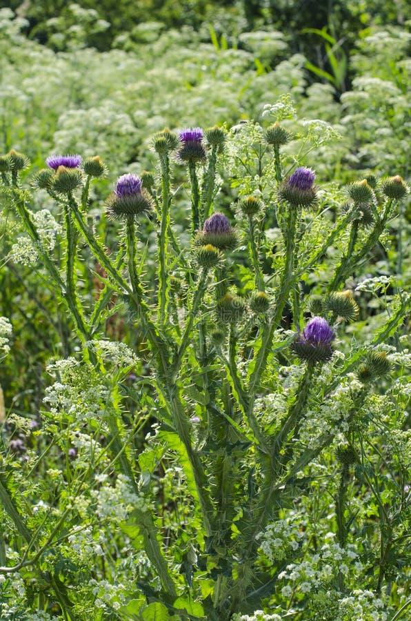 Το φυτό burdock υπερήφανα αυξάνεται στον τομέα στοκ εικόνες