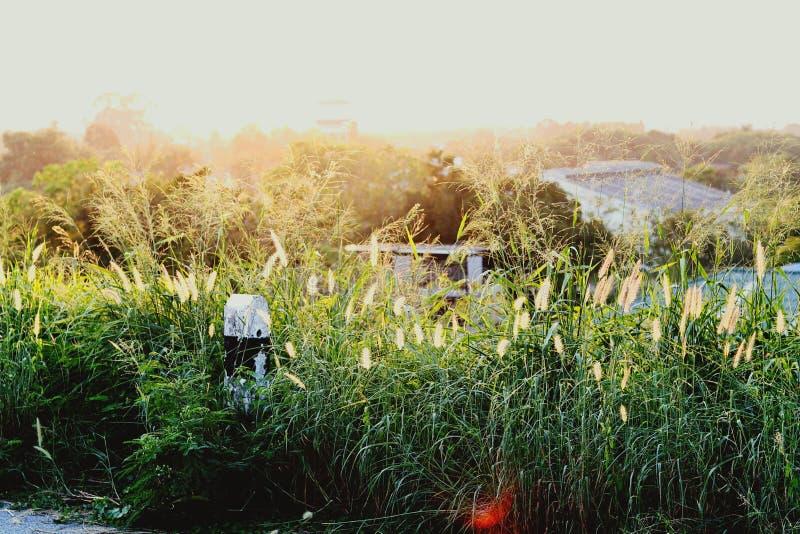 Το φως από το ηλιοβασίλεμα απεικονίζει την ανθίζοντας χλόη κατά μήκος του τρόπου στοκ φωτογραφίες