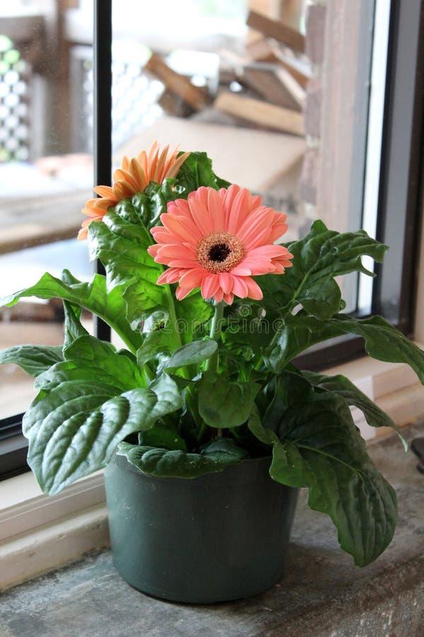 Το φωτεινό ροδάκινο χρωμάτισε τις μαργαρίτες gerbera στο δοχείο που τέθηκε στο windowsill για κάποιο ήλιο στοκ εικόνες