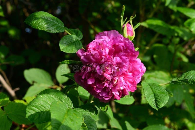 Το φωτεινό ρόδινο λουλούδι του σκυλιού αυξήθηκε στο θερινό κήπο στοκ εικόνα