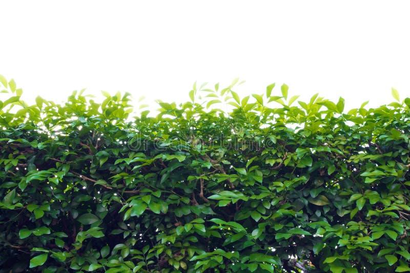 Το φύλλο δέντρων φυτεύει τον πράσινο φράκτη με θάμνους στοκ εικόνα