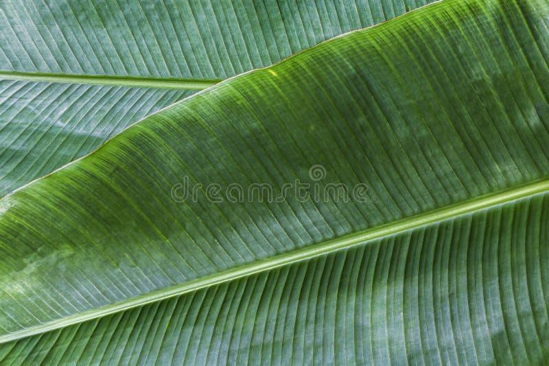 Το φύλλο μπανανών έχει τα πολύ μεγάλα φύλλα και μοιάζει με έναν φοίνικα Οι εγκαταστάσεις είναι καλλιεργημένες και αυξάνονται καλά στοκ φωτογραφίες με δικαίωμα ελεύθερης χρήσης