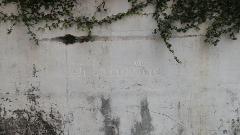 Φύλλο στο άσπρο υπόβαθρο τοίχων Φυσικός πράσινος τοίχος φύλλων, υπόβαθρο σύστασης στοκ εικόνες