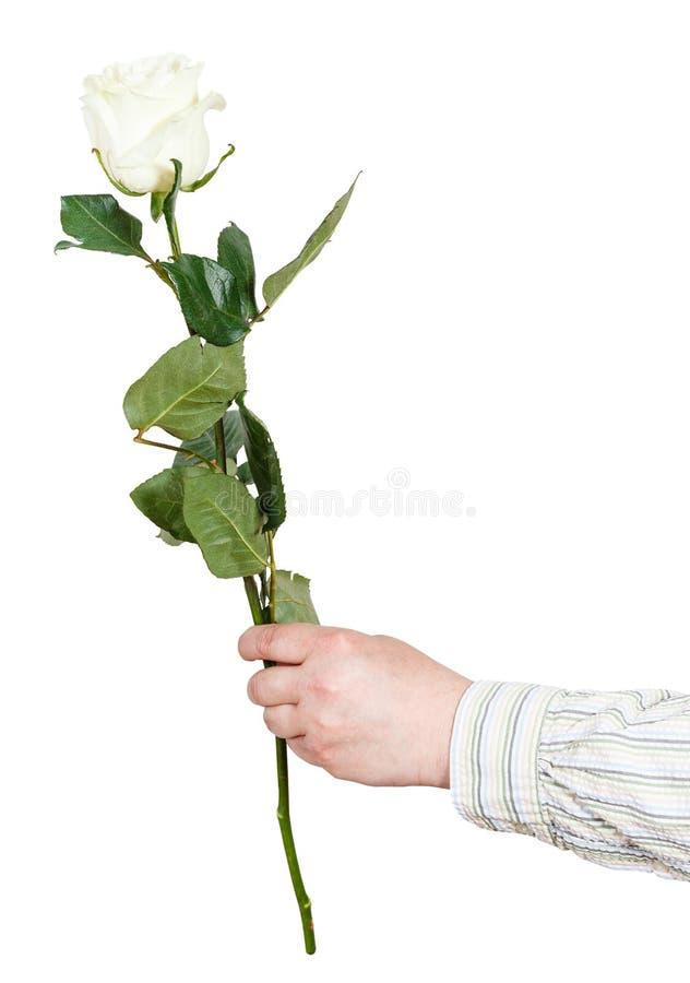 Το χέρι κρατά ένα λουλούδι - άσπρο αυξήθηκε απομονωμένος στοκ φωτογραφία