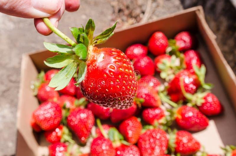 Το χέρι κρατά μια ώριμη φράουλα, που επιλέγεται πρόσφατα από ένα αγρόκτημα στοκ εικόνες