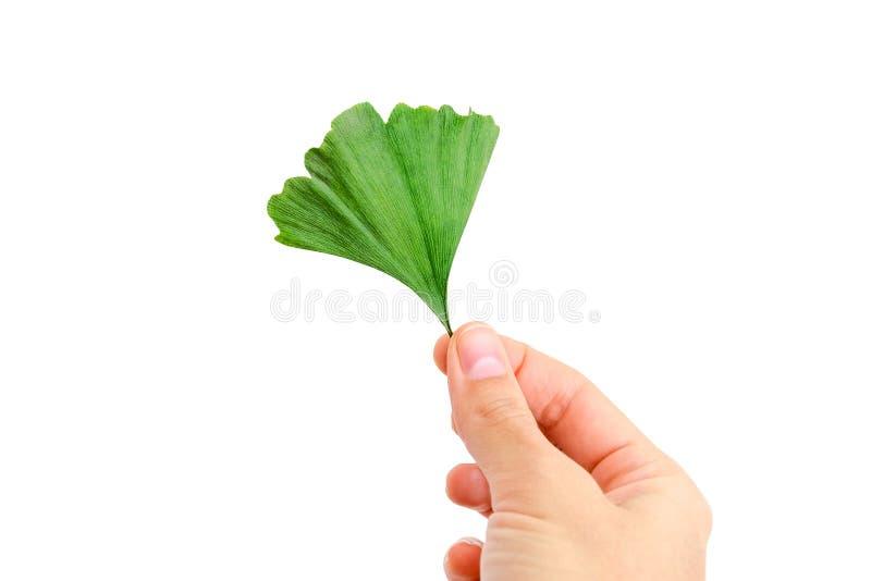 Το χέρι κρατά το φύλλο biloba ginkgo στοκ φωτογραφίες με δικαίωμα ελεύθερης χρήσης