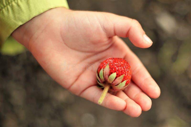 Το χέρι μωρών κρατά ένα ώριμο μούρο φραουλών, τοπ άποψη στοκ φωτογραφίες