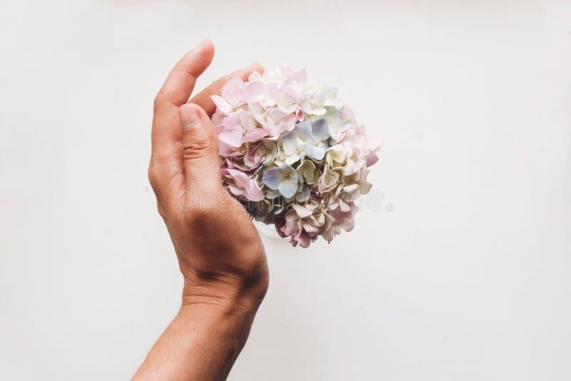 Το χέρι που κρατά τα όμορφα λουλούδια hydrangea απομονωμένα στο λευκό, επίπεδο βάζει με το διάστημα για το κείμενο Πάρτε την έννο στοκ εικόνα