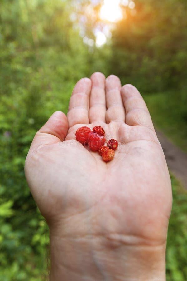 Το χέρι στην παλάμη κρατά το δασικές σμέουρο και τη φράουλα στα πλαίσια του δάσους στοκ φωτογραφία
