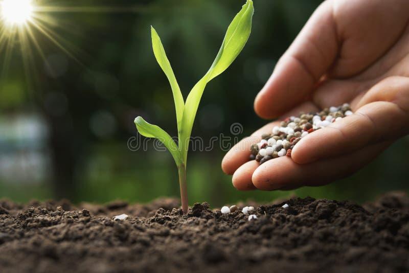 το χέρι του αγρότη χύνει τα χημικά λιπάσματα για το νέο καλαμπόκι στο αγρόκτημα στοκ εικόνες