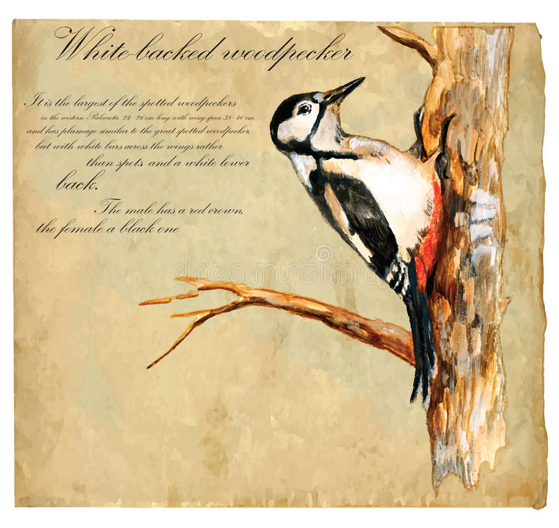 Το χέρι χρωμάτισε την απεικόνιση (διάνυσμα), πουλί: Δρυοκολάπτης απεικόνιση αποθεμάτων