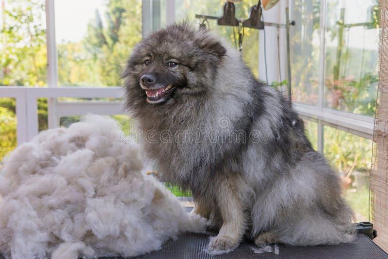 Το χαμόγελο Spitz λύκων κάθεται δίπλα σε έναν σωρό των τριχών στοκ εικόνες με δικαίωμα ελεύθερης χρήσης