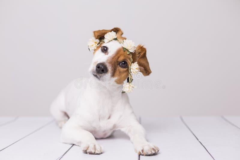 Το χαριτωμένο άσπρο και καφετί μικρό σκυλί που φορά ένα λευκό ανθίζει την κορώνα πέρα από το άσπρο υπόβαθρο indoors Αγάπη για την στοκ εικόνα